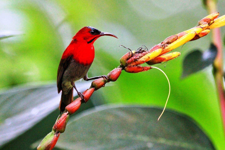 Khao Sok Thailand Crimson Sunbird
