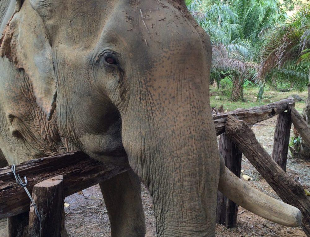 Khao Sok Elephant Retirement