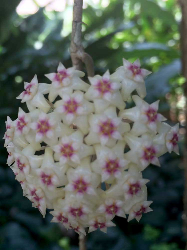 A Thai dry season bloom: Hoya