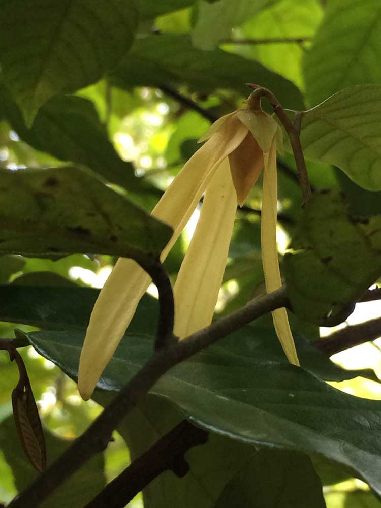 A Thai dry season bloom: Ylang Ylang