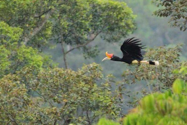 Khao Sok Lake Rhinoceros Hornbill
