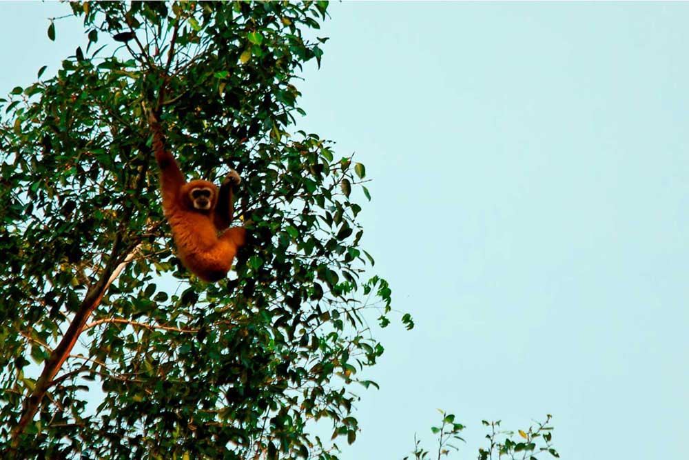 Khao Sok Trekking Lar Gibbon