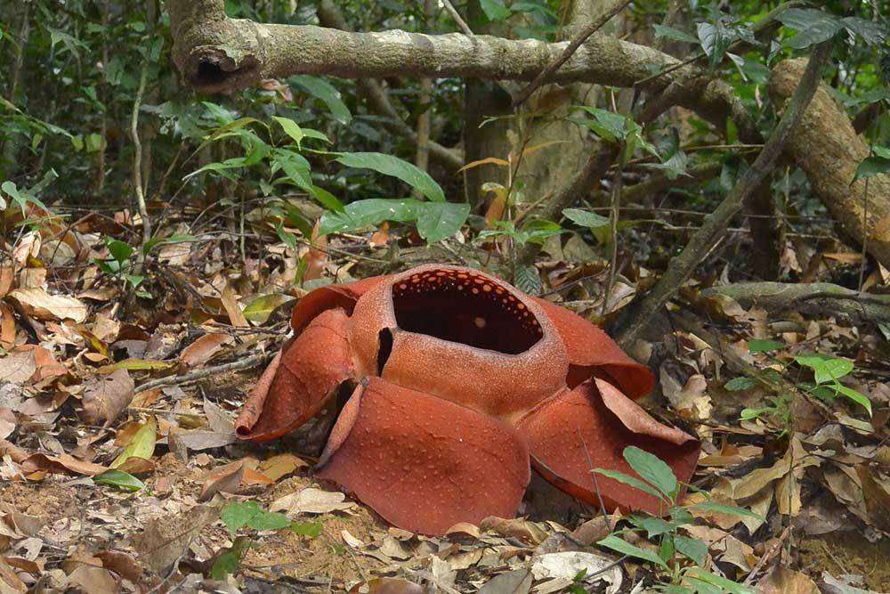 Khao Sok Trekking Rafflesia