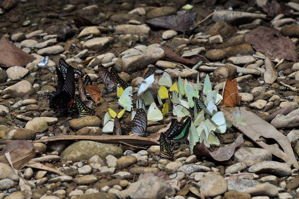 Khao Sok Trekking Butterflies