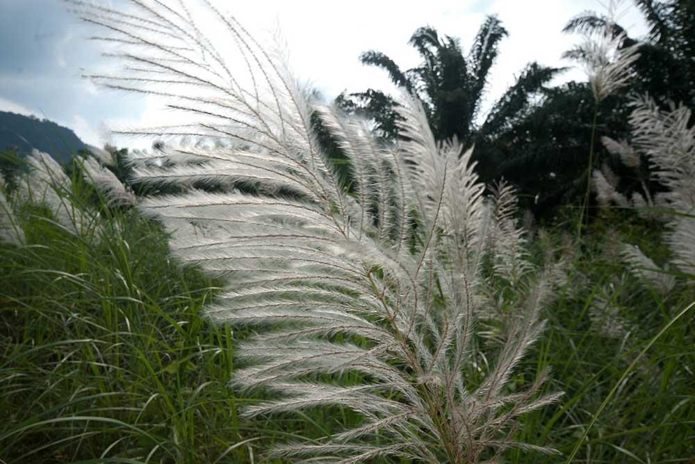 Khao Sok Useful Information Grass