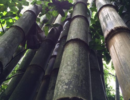 Khao Sok jungle hike: journey to the giant bamboo