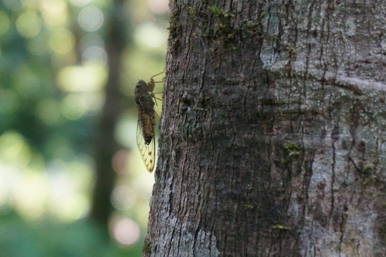 Khao Sok Wildlife Cicada