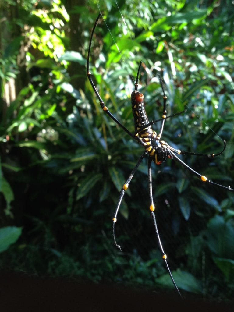 Khao Sok Wildlife Golden Orb Weaver