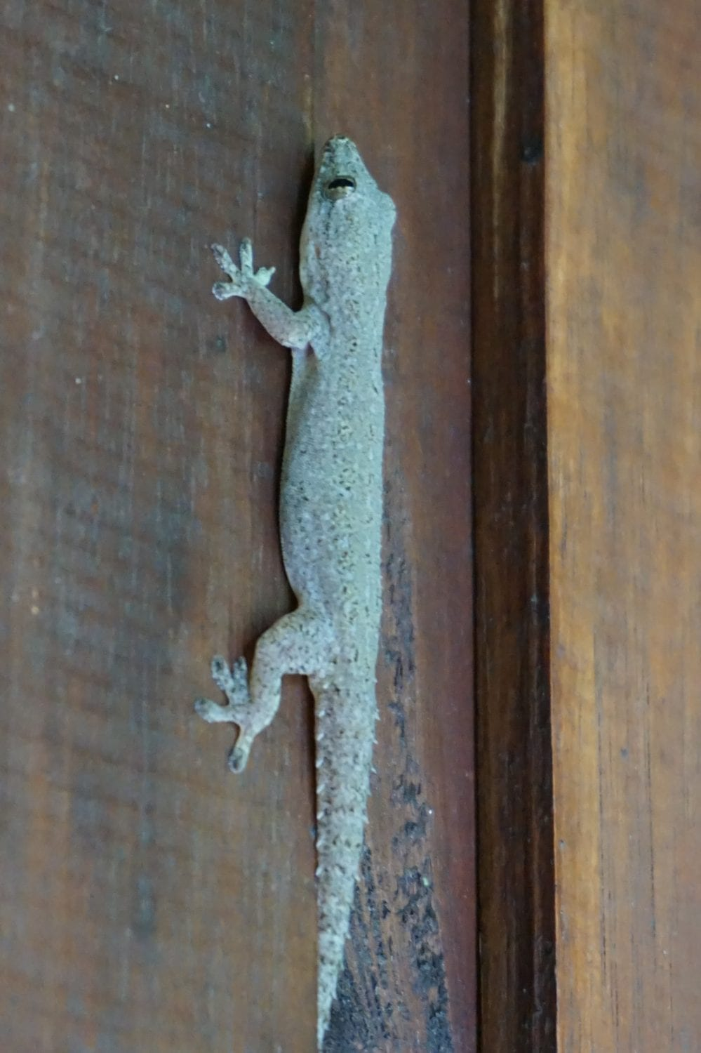 Khao Sok Wildlife Common House Gecko