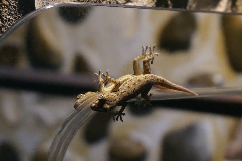 Khao Sok Wildlife Common House Gecko