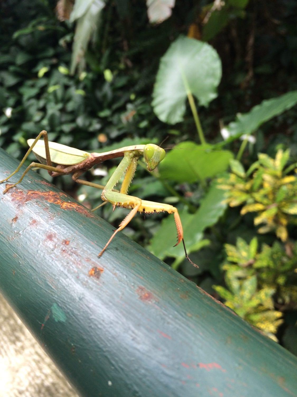 Khao Sok Wildlife Praying Mantis
