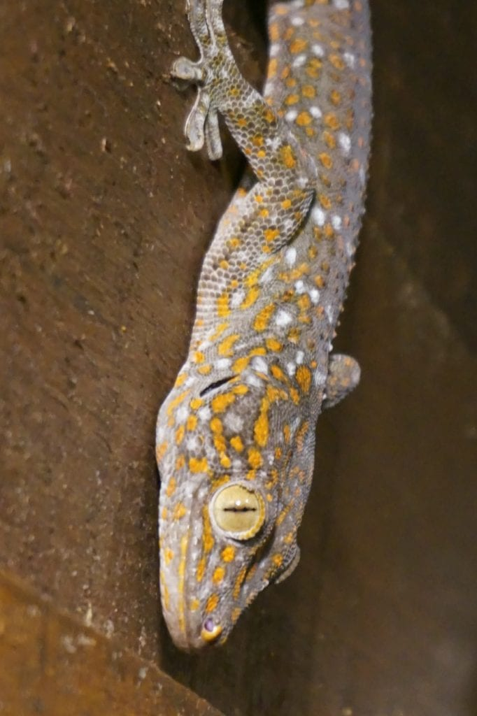 Khao Sok Wildlife Tokay Gecko