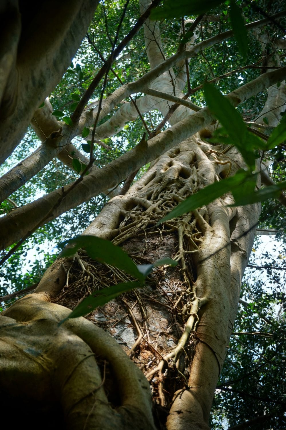 Khao Sok nature trail strangler fig