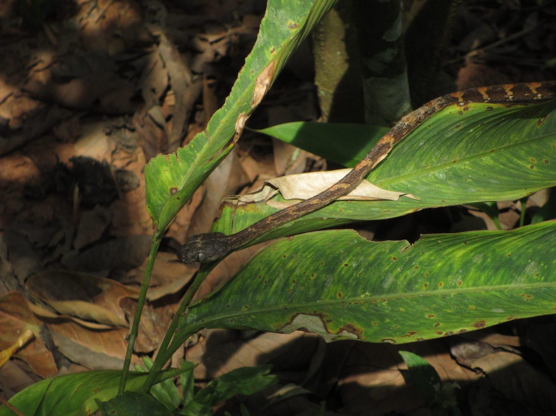 Khao Sok Night Safari cat snake