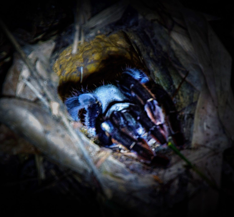 Khao Sok Night Safari Tarantula