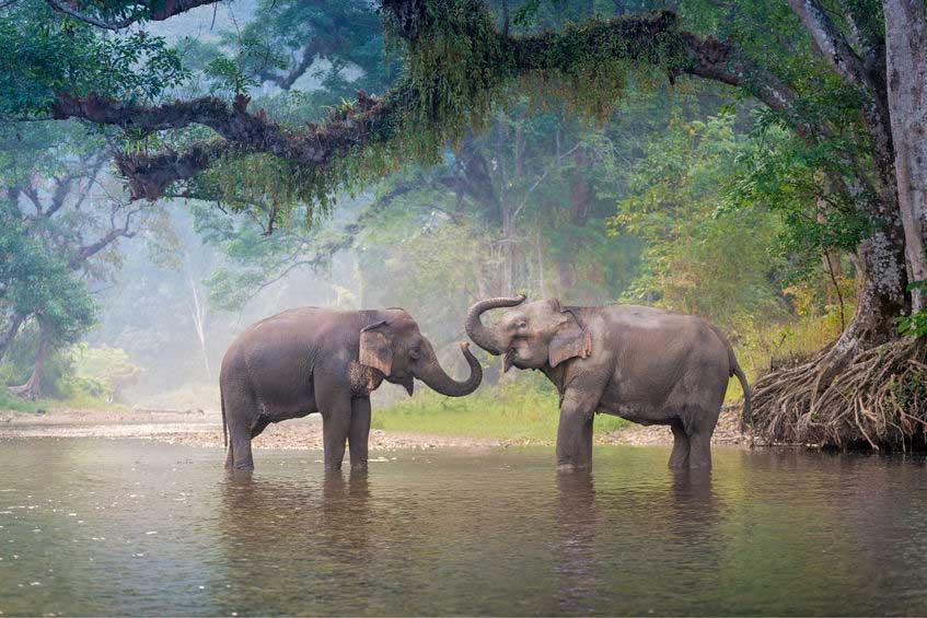 Asian elephant - enjoy the Khao Sok national park elephant