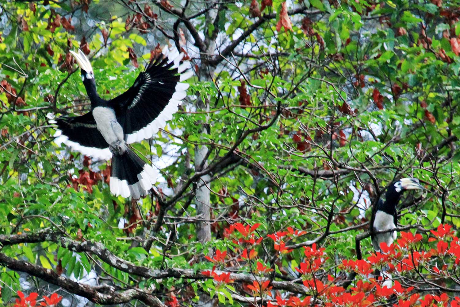 Khao Sok jungle - Hornbills