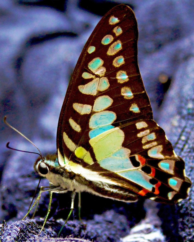 Khaosok butterfly