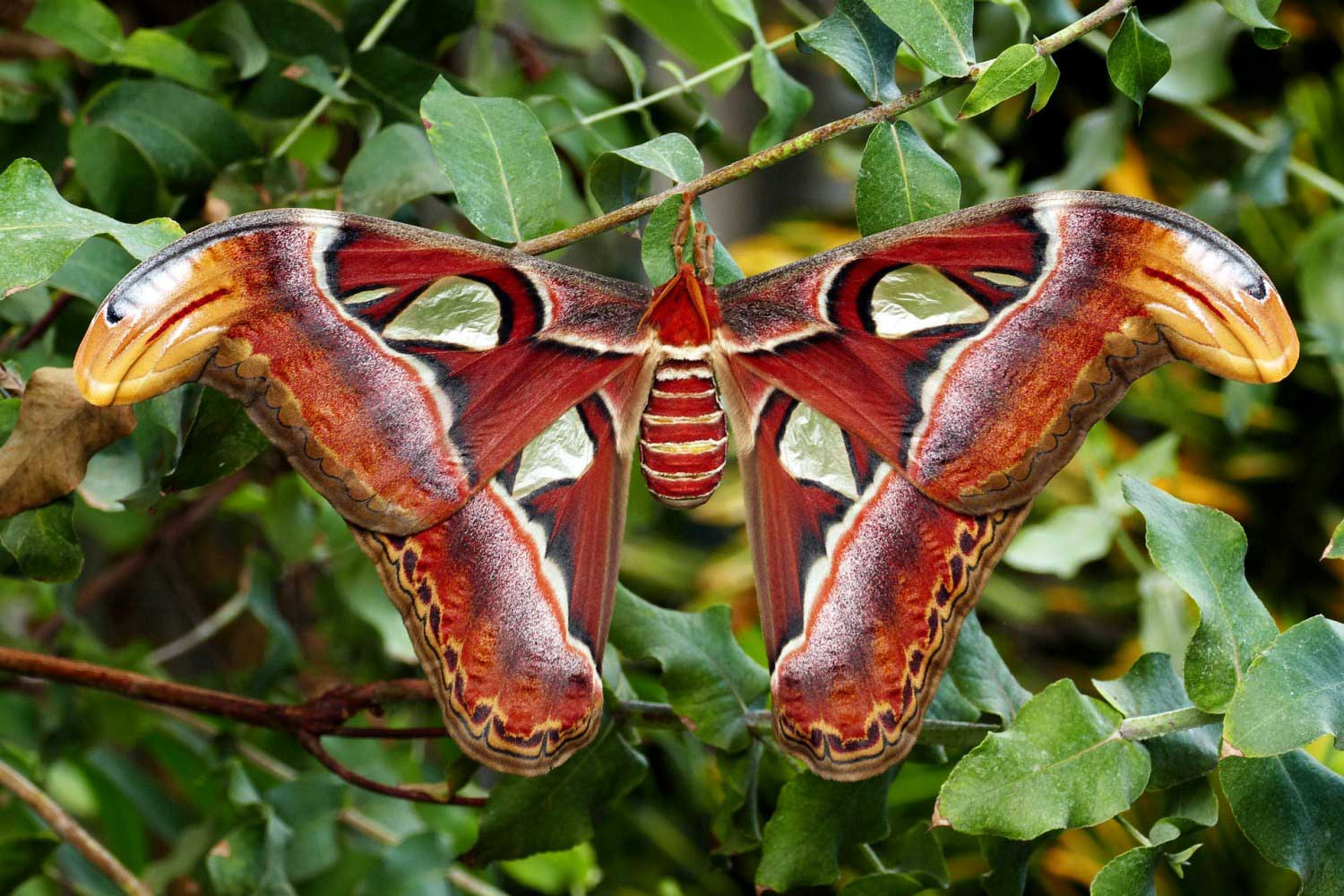 Atlas moth - Khao national forest