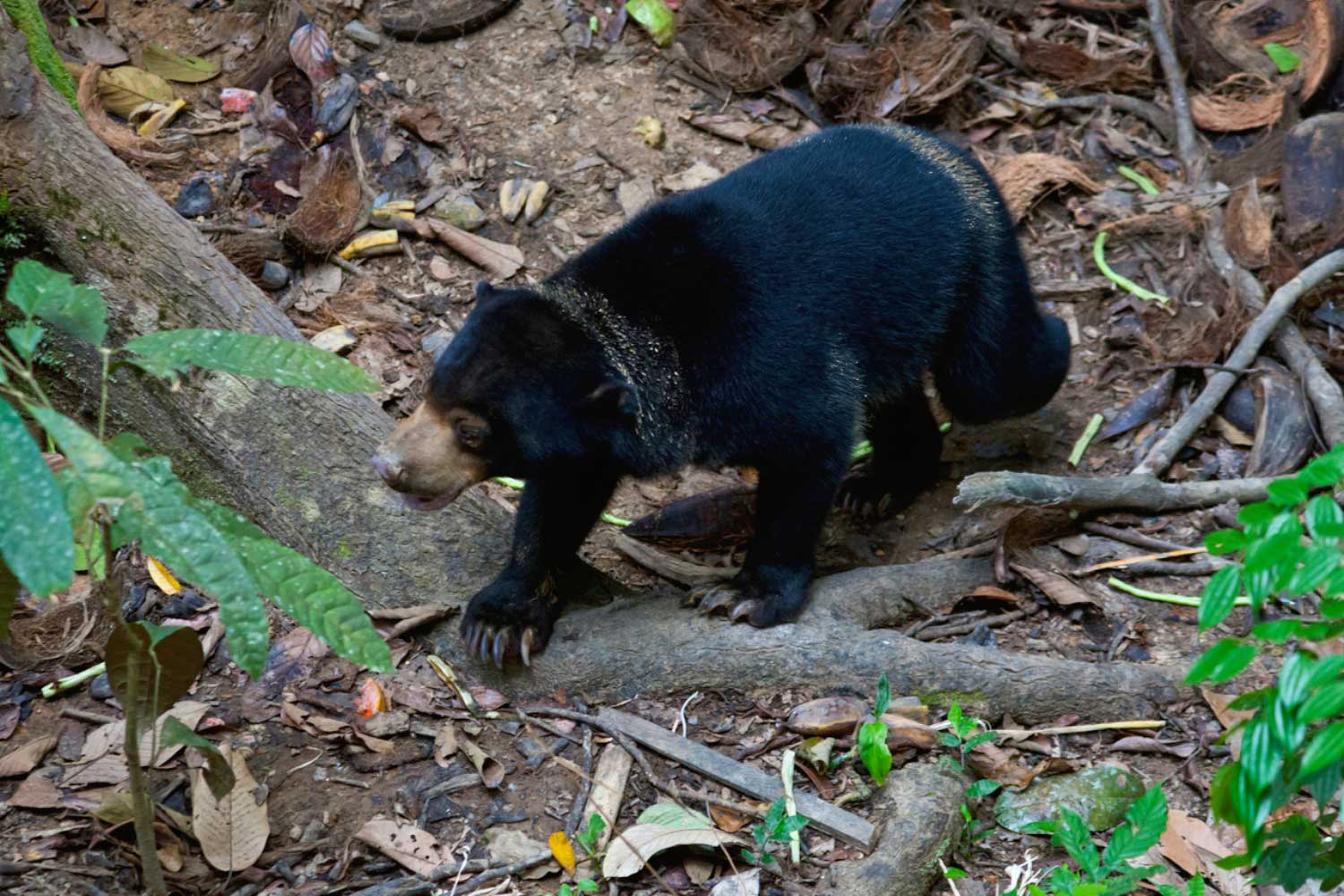 Malayan sun bear - Khao national park