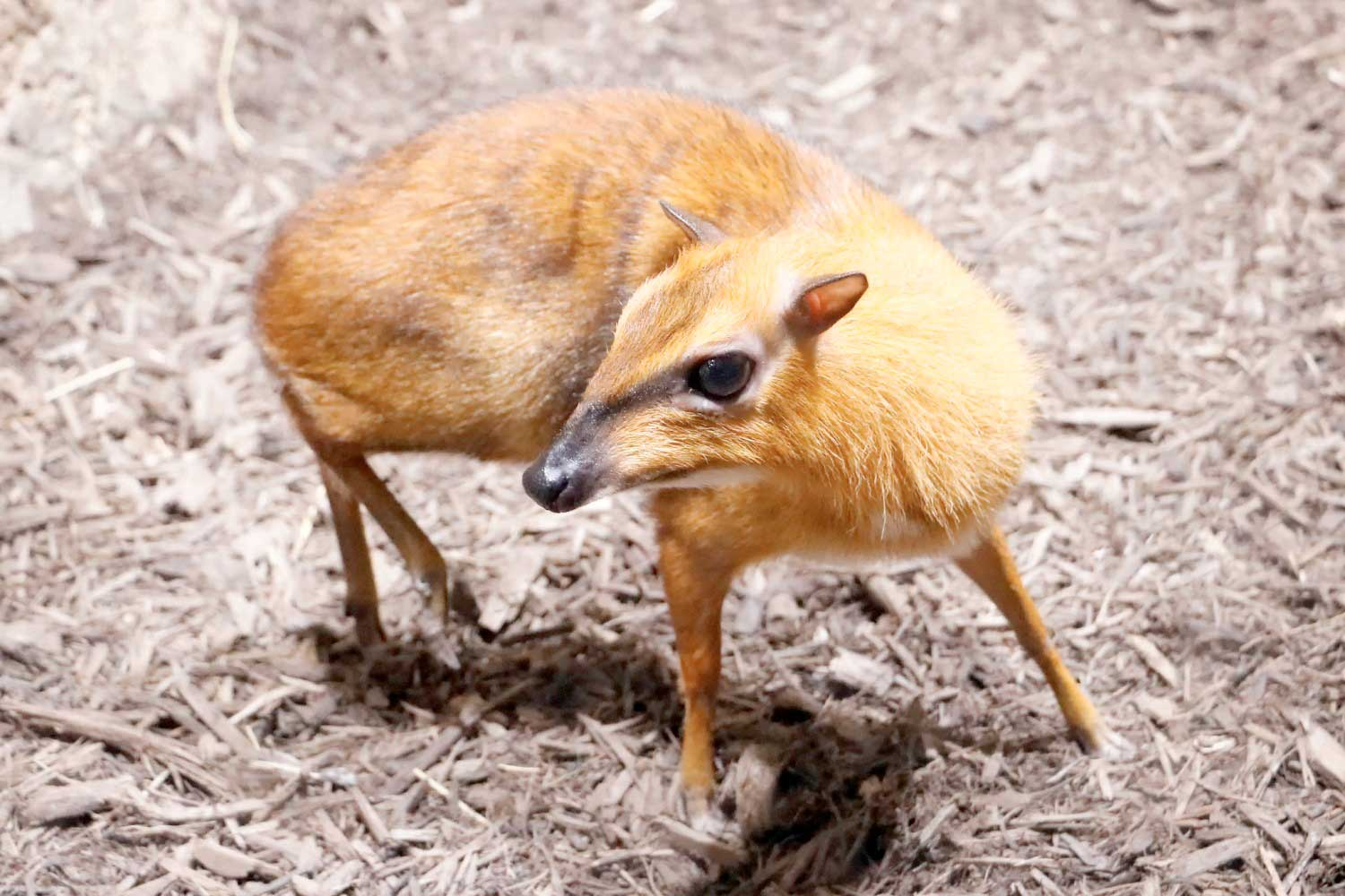 Mouse deer - Khao Sok jungle