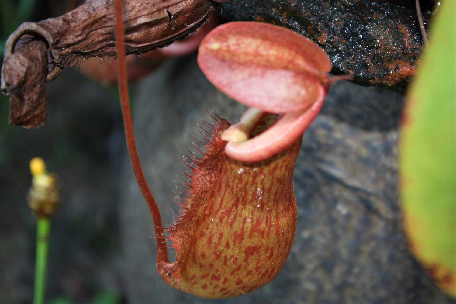 Pitcher plant - Khao national park