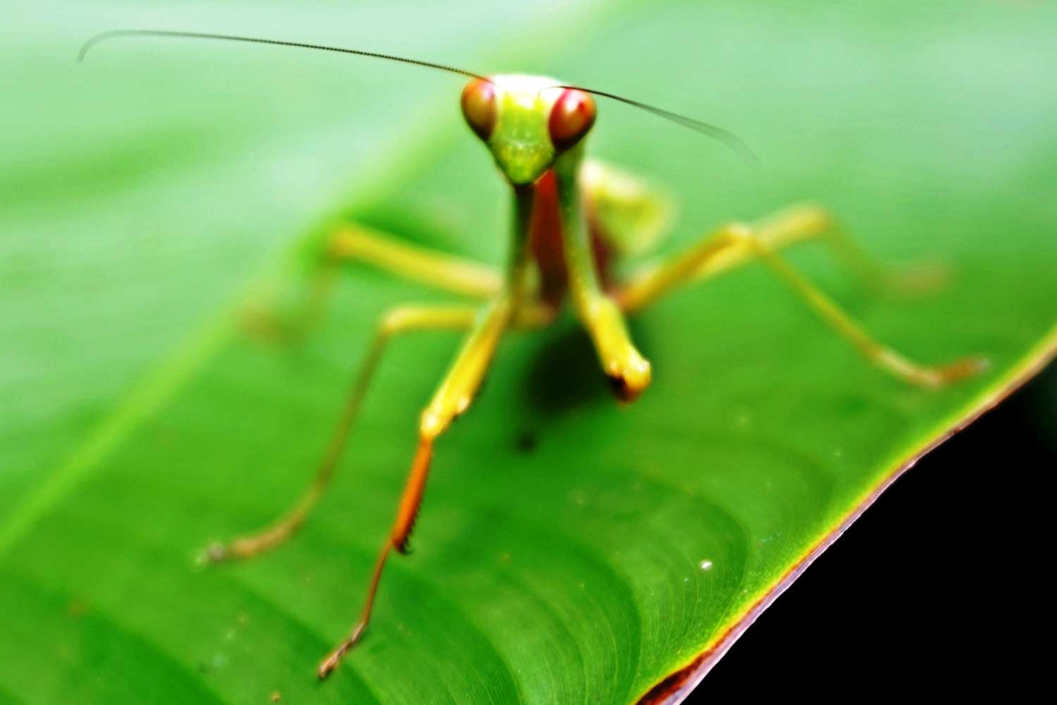 Preying Mantis - Khao Sok jungle