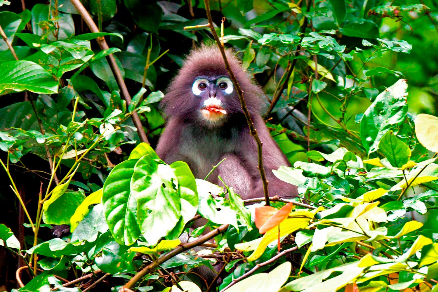Spectacled Langur - Khao Sok jungle