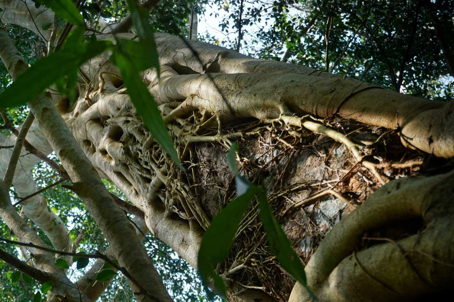Strangler Fig - Khao Sok jungle