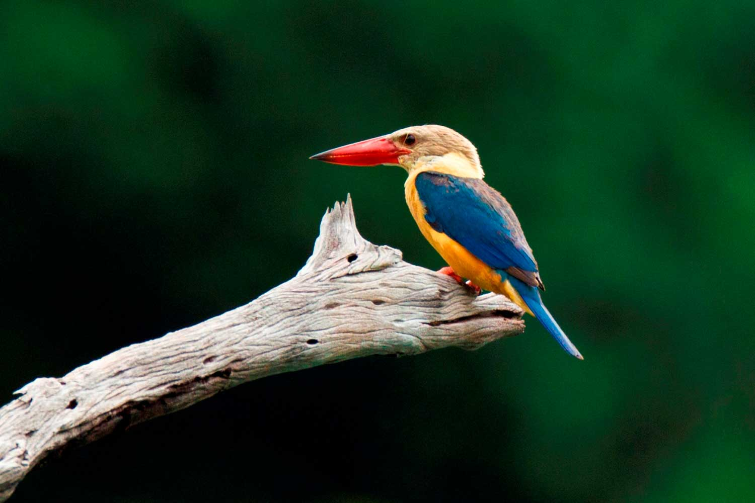 Thailand rainforest - kingfishers