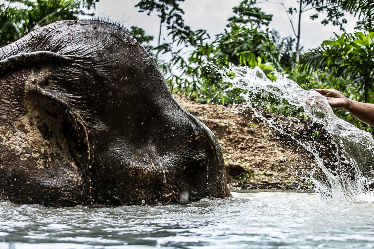 Thai elephant bathing at Khao Sok
