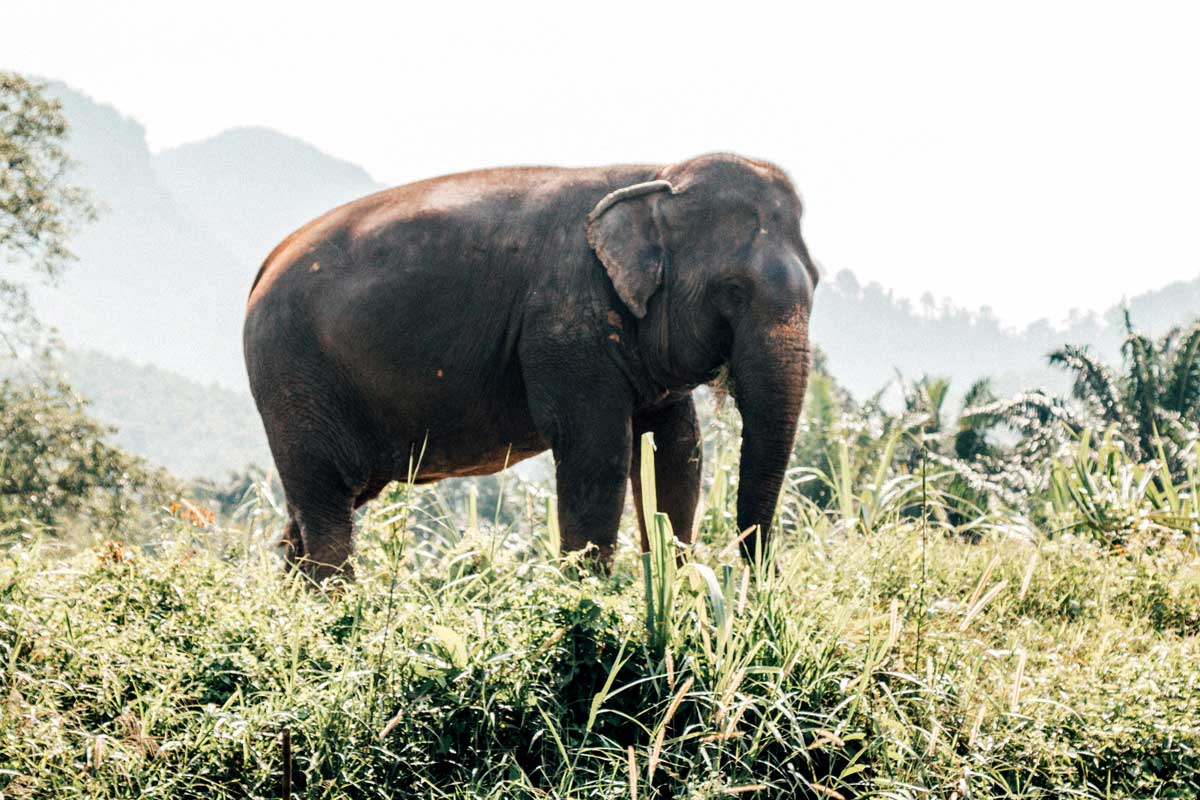 Khao Sok elephant resting in the Thailand jungle