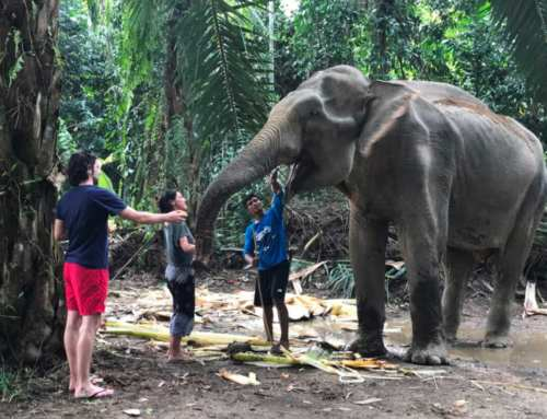 Thai elephant – a guide to the best Kao Sok elephant sanctuary